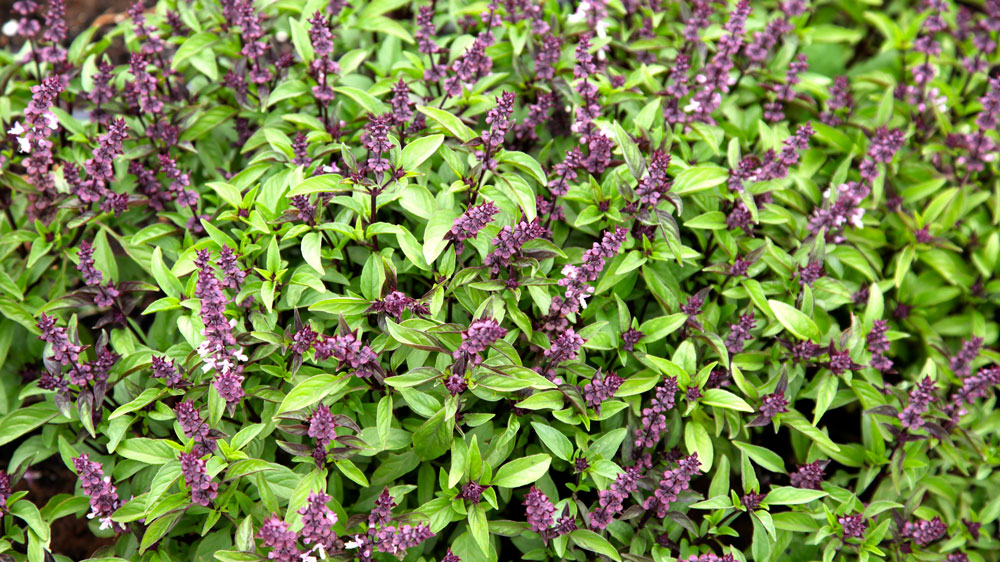 FermentAsian Garden Basil